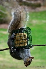 DSC_0103 (rachidH) Tags: roof food house nature squirrel nj hunger sparta feeders resourceful persistence instinct sneak birdfeeders ecureuil débrouillard rachidh