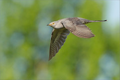 One flight over the Cuckoo's nest (hvhe1) Tags: bird netherlands animal bravo wildlife flight cuckoo vogel koekoek cuculuscanorus tonden hvhe1 hennievanheerden avianexcellence