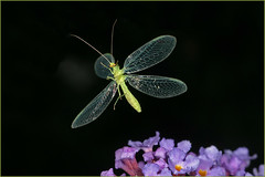 3638191 (JS Highspeed Photography) Tags: insect flight highspeed