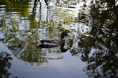 my first day with a DSLR camera (colourfulclouds) Tags: reflection water reflections duck nikon sweden d5100
