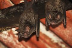 Fringe-lipped bats (Trachops cirrhosus)