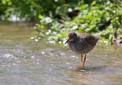 Redshank (Tringa totanus) (Veg_Brush) Tags: orange green bird nature water standing walking bill wings legs wildlife feathers tringa vegetation wading freshwater redshank wader totanus