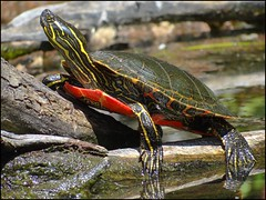 Painted Turtle (pjmaudsley) Tags: me2youphotographylevel2 me2youphotographylevel1