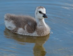 DSC_4321 (ts446) Tags: baby sun reflection cute bird castle water swim river grey parents stand geese kent pond nikon stream day dof ripple leeds young fluffy wave goose splash float moat barnacle 70200mm d7000 ts446 growntall