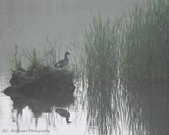 The morning watch (bemcgowan) Tags: morning mist toronto ontario canada reflection water grass misty fog duck pond mallard lakeontario colonelsamuelsmithpark