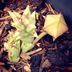 IG_Garden Surprise (Rosa Say) Tags: asclepiadaceae carrionflower huernia orbeavariegata starfishcactus toadcactus stapeliarelative