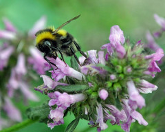 Bee , so very busy (littlestschnauzer) Tags: uk flowers summer plants detail macro green nature up leaves garden flying wings eyes nikon close purple bees insects bee busy mauve winged striped lively pollination 2013 my d5000 elementsorganizer11