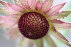 Berkheya Purpurea - Zulu Warrior (2wiice) Tags: sanfrancisco flowers gardens garden botanical warrior botanicalgardens botanicalgarden zulu purpurea sanfranciscobotanicalgarden berkheya sanfranciscobotanicalgardens berkheyapurpurea zuluwarrior