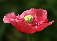 A Poppy In The Garden (Paul (Barniegoog)) Tags: flower garden poppy papaver