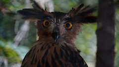 (ddsnet) Tags: bird birds zoo sony hsinchu taiwan raptor  birdofprey     nex  sinpu hsinpu bird  zoo mirrorless zoobird     newemountexperience nex7