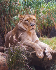 Lioness (mdalmuld) Tags: animal zoo wildlife sydney lion australia bigcat lioness tarongazoo