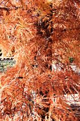 orange (/ayu/) Tags: autumn australia autumncolours canberra act