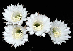 Quattro bianche corolle di echinopsis (Melisenda2010) Tags: flowers flora estate fiori coth
