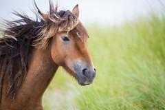 Windy Day (jeff_a_goldberg) Tags: horse canada novascotia nationalgeographic wildhorse parkscanada loh sableisland feralhorse fishermansharbour sableislandhorse sableislandpony sableislandnationalparkreserve