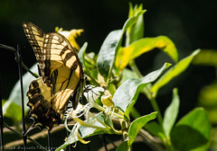 Eastern Tiger Swallowtail (paramaniac10) Tags: flowers summer portrait stilllife weather birds landscape landscapes arty spiders wildlife bees nick birding butterflies insects recreation beetles canondslr classiccars dragondamselflies florafungus andorranaturecenter