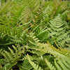 "Autumn Fern • <a style=""font-size:0.8em;"" href=""http://www.flickr.com/photos/101656099@N05/9733562095/"" target=""_blank"">View on Flickr</a>"