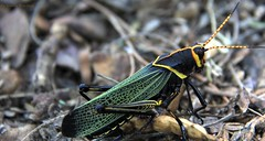 Grasshopper (One Way Productions) Tags: arizona canon bug insect lens eos tucson 200 grasshopper mm 18 efs 60d