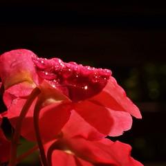 (joeyboatright) Tags: pink flower wet water up closeup close spray spraybottle