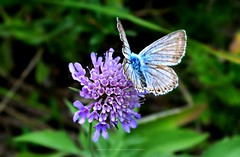 violet & blue (black one7) Tags: blue black flower green nature butterfly nikon d3100 one7 blackone7