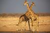 Which way did he go! (Perry McKenna) Tags: africa light beautiful canon warm dusk safari tall namibia etosha 300mmf28 girafes 14tele 5d3