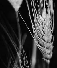 Wheat (emilyabrams) Tags: autumn bw plant grass wheat dry seeds crop