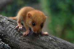 little dormouse on the fence (ΞSSΞ®®Ξ) Tags: cute animal fence pentax k5 ξssξ®®ξ