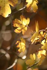 samstag in waldkraiburg (ingejahn) Tags: licht herbst sonne bltter samstag herbstfrbung waldkraiburg
