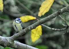 Blue Tit (littlestschnauzer) Tags: uk november blue autumn cold west tree bird nature weather birds garden nikon tit wildlife branches yorkshire small elements species british local birdlife emley 2013 my d5000
