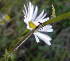 White legged damselfly (female) (rockwolf) Tags: flower insect shropshire daisy damselfly odonata oxeyedaisy whiteleggeddamselfly rockwolf platycnemispennipes ismorecoppice
