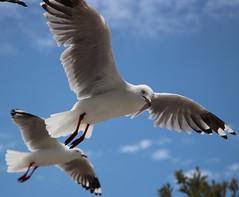 de zeemeeuw (40) (bertknot) Tags: seagulls seagull gull gulls mwe gaviota meeuw meeuwen gabbiano gaivota goland ms lokki zeemeeuw mge zeemeeuwen mewa sirly dalg   diemwe mouettedupegolandgolandbeccerclgolandargentgolandcendrgolandmarinmouetterieuse zeemeeuwenmeeuw