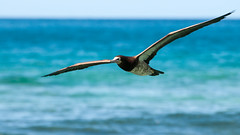 Brown Booby in Flight (bvi4092) Tags: travel blue sea sky brown bird water photoshop bay mar fly inflight nikon wildlife flight bluesky caribbean nikkor tortola bvi booby britishvirginislands westindies brownbooby nikonafsvr70300f4556gifed d300s