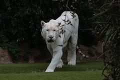 Tigre blanco (epifanio haba) Tags: tiger tigre whitetiger tigreblanco