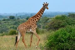 Giraffe (twosheffs) Tags: africa nature animal kenya wildlife nairobi safari giraffe nairobinationalpark