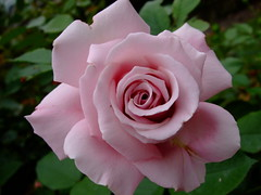 Rose (yewchan) Tags: flowers roses flower nature colors beautiful beauty rose closeup garden flora colours gardening vibrant blossoms rosa blooms lovely