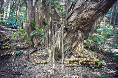 Volcanoes Forest (ken mccown) Tags: nature hawaii bigisland volcanoesnationalpark