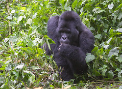 _DSC5022. Gorilla. Vi var midt i matfatet hans. Karamuzi.  Bitukura Group. (Berit Christophersen) Tags: gorilla uganda mountaingorilla sonyalpha gorillaberingeiberingei bwindinationalpark sal70300g ruhija bitukuragroup fjellgorilla