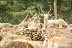 Zoo (matiasfariasph) Tags: bear zoo oso monkey mono buffalo buenos aires tiger lion llama deer leon lemur owl emu animales giraffe panther bufalo tigre tapir pantera ciervo buho jirafa zoologico