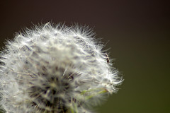 Nucleus of Dandelion~Atomic Bombs! (AngelBeil) Tags: macro season you dandelion seeds inside transparent bombs atomic sneeze bless pods allergy nucleus