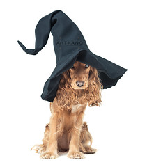 dog sitting in a witches hat and looks impressive (Artranq) Tags: red dog pet brown white black halloween hat animal out spectacular fun mammal one sitting looking view shot floor witch fine hunting ears carving domestic celebrations cap single pensive spaniel shaggy cocker ideas isolated steep severe purebred nglish