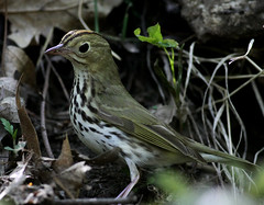 Ovenbird (hbp_pix) Tags: birds mt auburn warblers hbppix