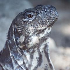 Portrait (Kitty Terwolbeck) Tags: animal zoo reptile leguaan lizard iguana dier artis dierentuin hagedis reptiel artisroyalzoo