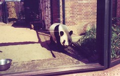 """Panda in Berlin Zoo • <a style=""""font-size:0.8em;"""" href=""""http://www.flickr.com/photos/9840291@N03/14075200366/"""" target=""""_blank"""">View on Flickr</a>"""