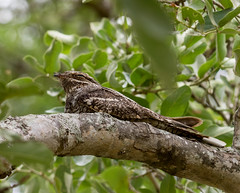 European nightjar (Caprimulgus europaeus) Ziegenmelker (jaffles) Tags: holiday nature southafrica wildlife natur olympus safari np südafrika kruger krüger