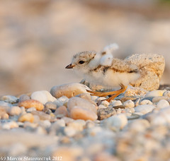 Learning to fly (v4vodka) Tags: nature animal wildlife chick birdwatching plover pipingplover shorebird charadriusmelodus pipingploverchick birdbirding sieweczkablada