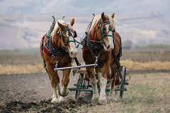 Horsepower (John Westrock) Tags: horses field farm farming dirt pacificnorthwest washingtonstate plowing ellensburg clydesdales ploughing canonef100400mmf4556lisusm olmsteadplacestatepark canoneos5dmarkiii