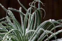 Frozen Echium (twinklespinalot) Tags: winter snow ice water echium sigma70300mm canoneos700d