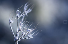 (Emilien Gass) Tags: blue winter plant macro canon frozen branch bokeh 100mmf28 550d