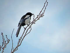 Magpie and Blue (Daisy Waring World) Tags: magpie palebluesky