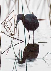 _AAC3569.jpg (Lake Worth) Tags: bird nature birds animal animals canon wings florida wildlife feathers wetlands everglades waterbirds southflorida 2xextender sigma120300f28dgoshsmsports