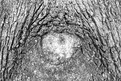 47 (Lee Saboro) Tags: blackandwhite tree eye monochrome pareidolia bark